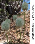 Small photo of Group of Seed Head of Anemone Flowers alongside trail