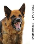 Small photo of Aggressive, angry dog, scaly on a white background
