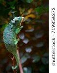 jackson's chameleon or three... | Shutterstock . vector #719856373