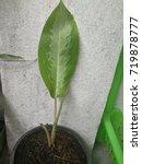 Small photo of Aglaonema cochinchinense