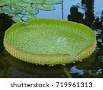 Small photo of Leaf of Victoria cruziana,Victoria is a genus of water-lilies, in the plant family Nymphaeaceae, Amazona Brazil