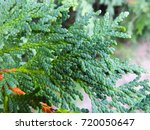 closeup of some western red... | Shutterstock . vector #720050647