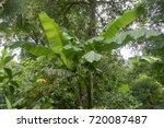 Banana Plant  Musa X...