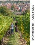Small photo of Eguisheim - France - 22 September 2017 - people for harvest in alsatian vineyard