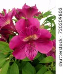 Small photo of purple Alstroemeria flowers commonly known as the Peruvian Lilies