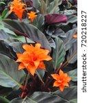 tropical orange calathea... | Shutterstock . vector #720218227