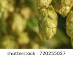 green ripe hops are lightened...   Shutterstock . vector #720255037
