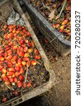 Small photo of Palm oil, a well-balanced healthy edible oil is now an important energy source for mankind. It comes from the fruit itself. It is widely acknowledged as a versatile and nutritious vegetable oil.