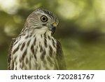 Small photo of Shikra (Accipiter badius badius) bird sitting in tree branch