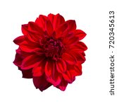 Red Dahlia Flower. Beautiful...