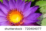 Small photo of purple litus bloom