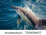 a short beaked common dolphin... | Shutterstock . vector #720454657