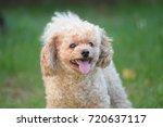 Toy Poodle Portrait In The Par...