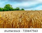 wheat field in the east sussex...   Shutterstock . vector #720647563