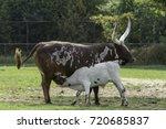 a calf suckling | Shutterstock . vector #720685837