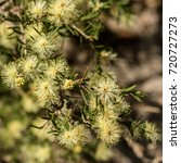 Small photo of Close-up of Australian Reed-leaf or Thin-leaf Wattle (Acacia aculeatissima) yellow native wildflower