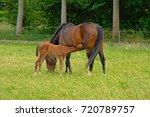 mare suckling her foal in a... | Shutterstock . vector #720789757
