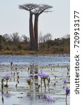 two baobabs and pond with water ... | Shutterstock . vector #720913177