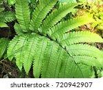 closeup green fern leaf for... | Shutterstock . vector #720942907