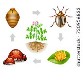 colorado beetle life isolated... | Shutterstock .eps vector #720956833