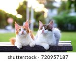 Stock photo portrait of cute cats sitting on a chair in green garden with soft light background two 720957187