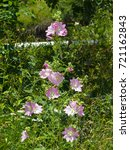 Small photo of Pink flowers on Hollyhock, Alcea Pallida, close-up with bokeh background, selective focus, shallow DOF.