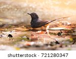 White-rumped shama (Copsychus malabaricus) taking a bath. Bird enjoys bathing.