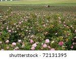 Stock photo pink crimean rose in sunny garden 72131395