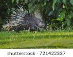 east asian porcupine running... | Shutterstock . vector #721422337
