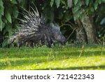 east asian porcupine running... | Shutterstock . vector #721422343