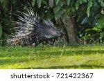 east asian porcupine running... | Shutterstock . vector #721422367