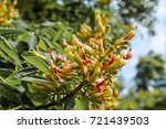Small photo of Yellow Buckeye (Aesculus flava) in park, Moscow, Russia