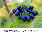 Small photo of Acanthopanax Senticosus, also called Siberian Ginseng, Eleutherococcus senticosus berries are a widely used herb in traditional Chinese medicine.
