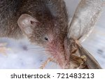 common shrew  sorex araneus  | Shutterstock . vector #721483213