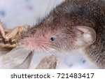common shrew  sorex araneus  | Shutterstock . vector #721483417