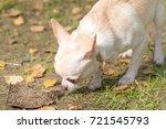 Chihuahua Dog Close Up