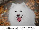 Autumn Mood. White Samoyed Dog...