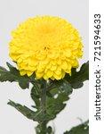 Small photo of Chrysanthemum Indicum Grp disbud Paladov Sunny