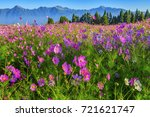 chrysanthemum field with...   Shutterstock . vector #721621747