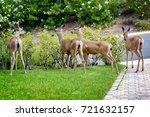 Stock photo a family of deer eating rose bushes in suburban california garden 721632157