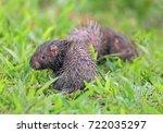 malayan porcupine  himalayan... | Shutterstock . vector #722035297