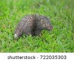 malayan porcupine  himalayan... | Shutterstock . vector #722035303