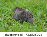 malayan porcupine  himalayan... | Shutterstock . vector #722036023