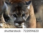 a cougar watches intently as it ...   Shutterstock . vector #722054623