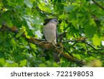 Small photo of Levant sparrowhawk (Accipiter brevipes) in natural habitat