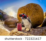 Curious African Penguin With...