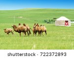 camel in inner mongolia  china   Shutterstock . vector #722372893