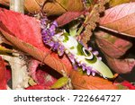 "Small photo of Recently metamorphosed praying mantis dries off on brightly colored leaves. See the ""eye"" on its wings."