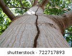 ceiba tree with termite path | Shutterstock . vector #722717893