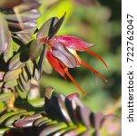 wildflower darwinia citriodora  ... | Shutterstock . vector #722762047